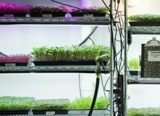 Various microgreens in trays on shelves