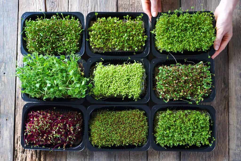 Microgreens on a wooden table