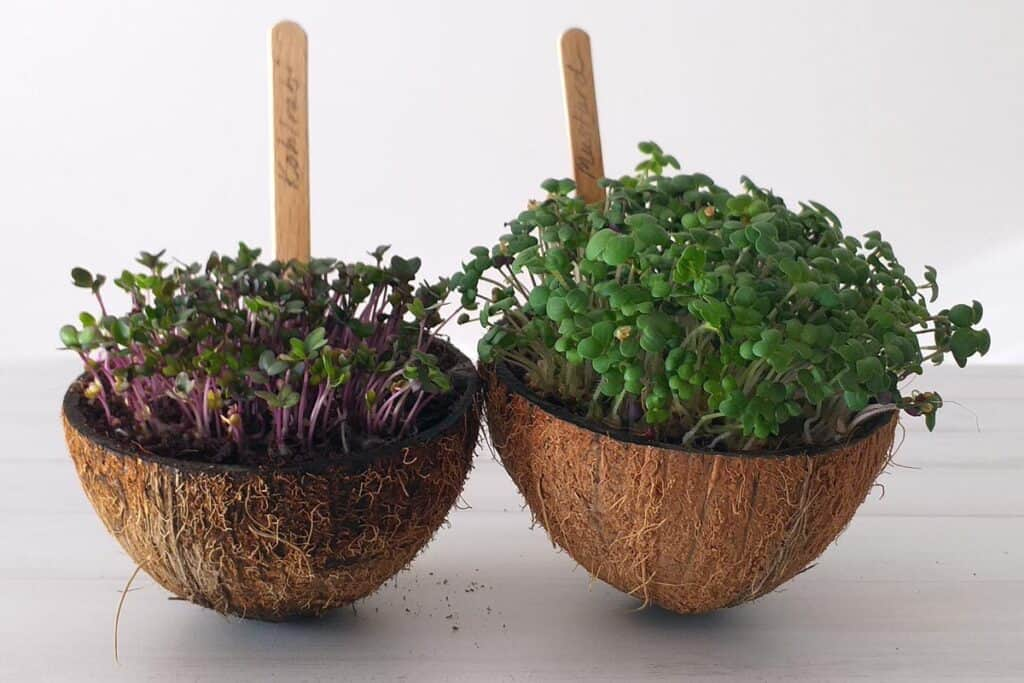 Microgreens in coconut bowls