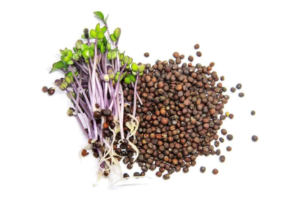 Red cabbage microgreens and seeds