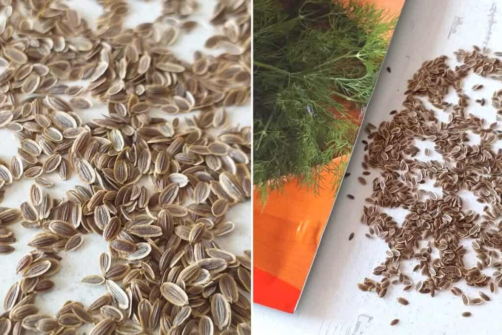 Dill microgreens seeds on a white table