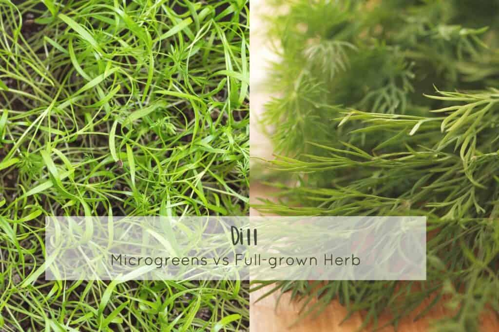 Dill microgreens and full grown dill next to each other