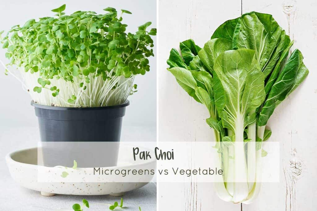 Pak Choi microgreens vs. the full grown vegetable