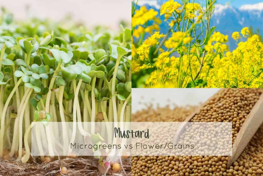 Mustard microgreens vs grains and full grown flower