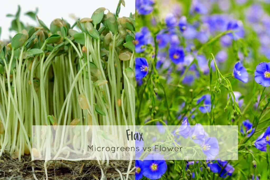 Flax microgreens and full grown flower
